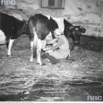 Ręczny udój mleka [1974 r.]. Narodowe Archiwum Cyfrowe.